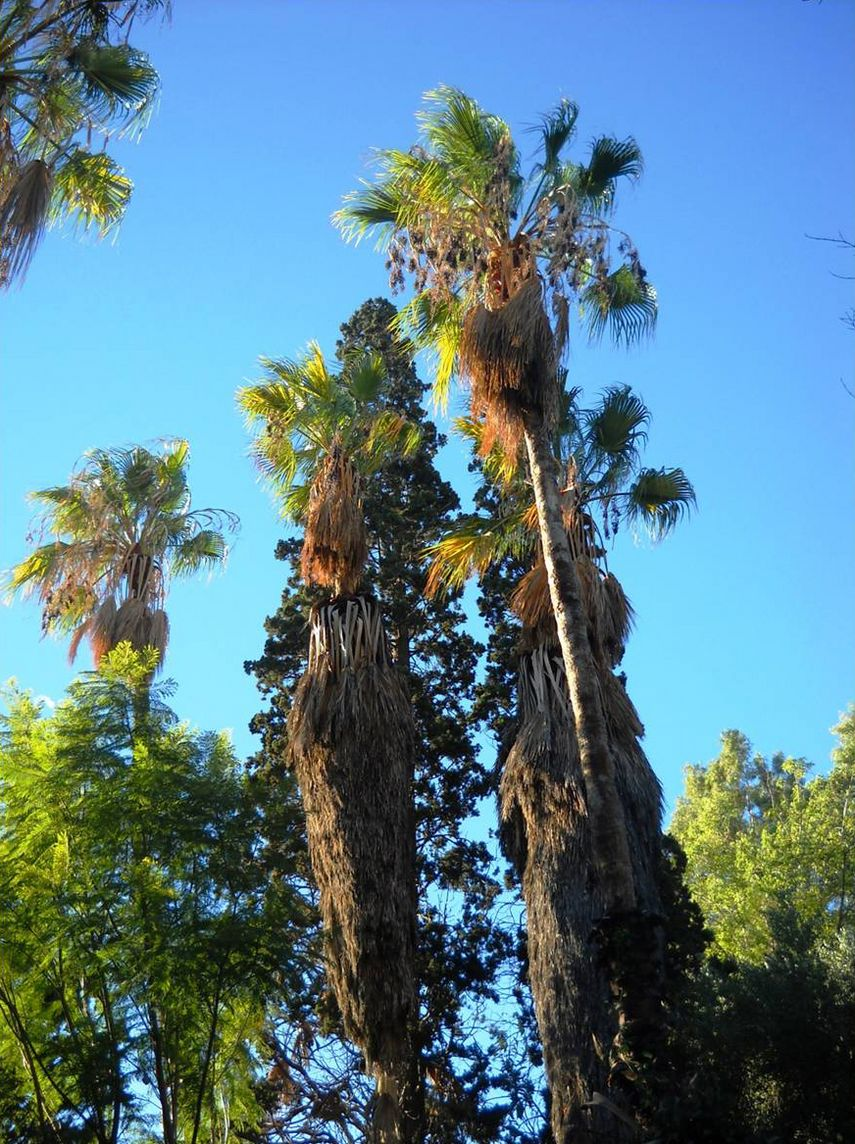 A few tall, more than a century-old Washingtonia filifera trees (Palmae) of historic importance still survive in the Botanical Garden of National and Kapodistrian University of Athens